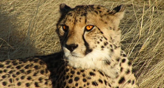 Cheetah in Namibia, by user tpsdave on Pixabay, CC0